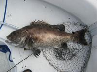 Black Seabass before releasing